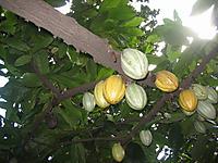 Cacaomata01